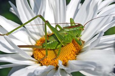 Ονειροκρίτης ακρίδα - ακρίδες (έντομα)