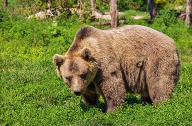 Ονειροκρίτης αρκούδα