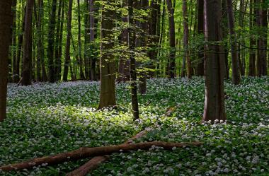 Ονειροκρίτης Δάσος (Άλσος)