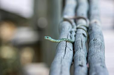 Ονειροκρίτης φίδι (ερπετό)