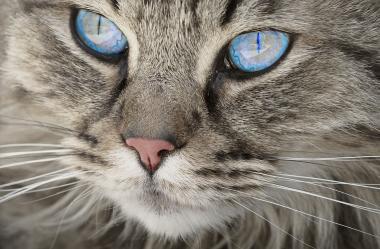 Ονειροκρίτης γάτα