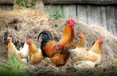 Ονειροκρίτης κότα - κοτόπουλο