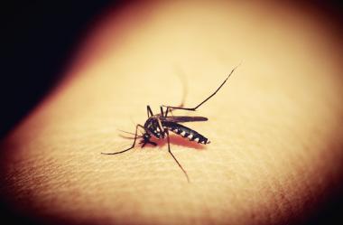 Ονειροκρίτης κουνούπι - κουνούπια