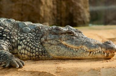 Ονειροκρίτης κροκόδειλος - αλιγάτορας
