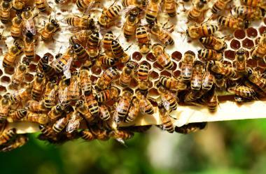 Ονειροκρίτης μέλισσα - μέλισσες