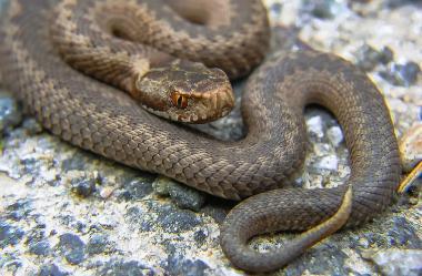 Ονειροκρίτης οχιά - φίδι