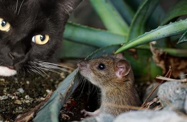 Ονειροκρίτης ποντίκι - ποντίκια