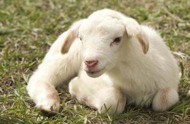 Ονειροκρίτης πρόβατο