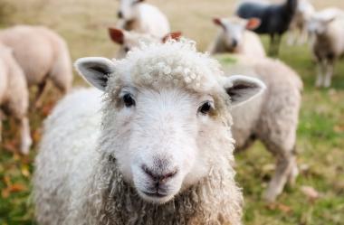 Ονειροκρίτης αρνί (πρόβατο)