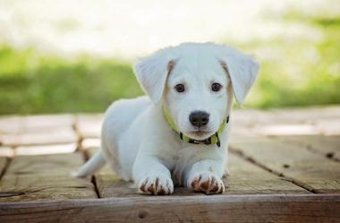 Ονειροκρίτης σκύλος (σκυλάκι - σκυλί)