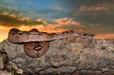 Ονειροκρίτης βόας φίδι