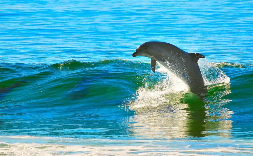 Ονειροκρίτης δελφίνι