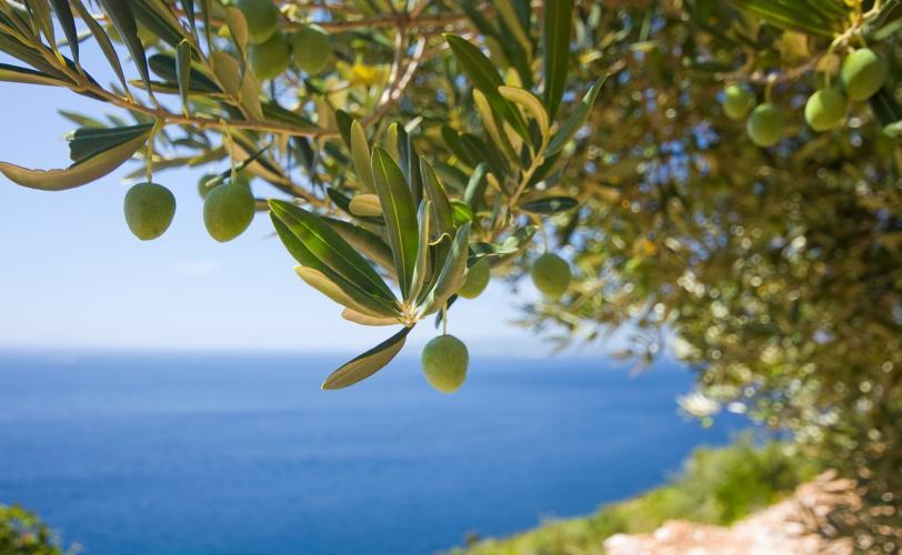 Ονειροκρίτης ελιά (δέντρο - καρπός)