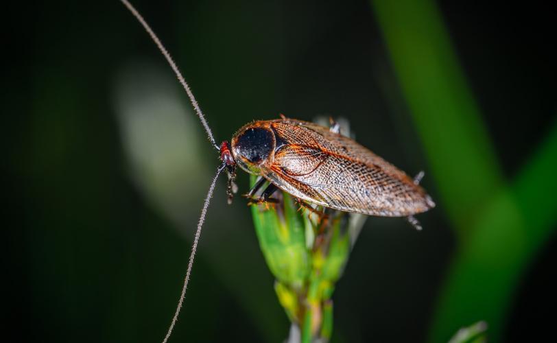 Ονειροκρίτης κατσαρίδα