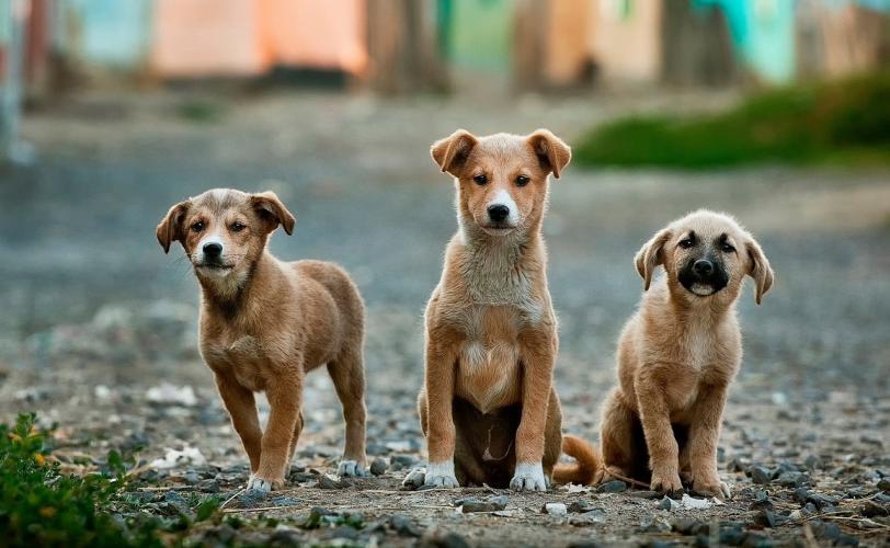 Ονειροκρίτης κουτάβι - κουτάβια (σκύλος)
