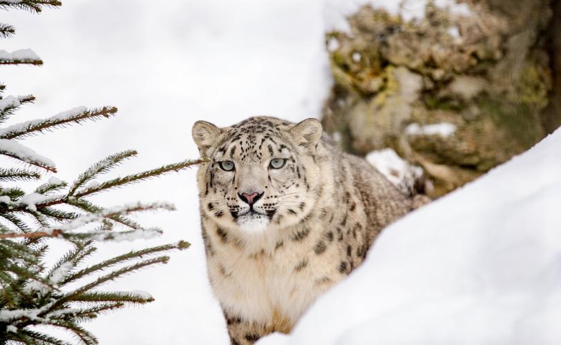 Ονειροκρίτης λεοπάρδαλη (αιλουροειδές)