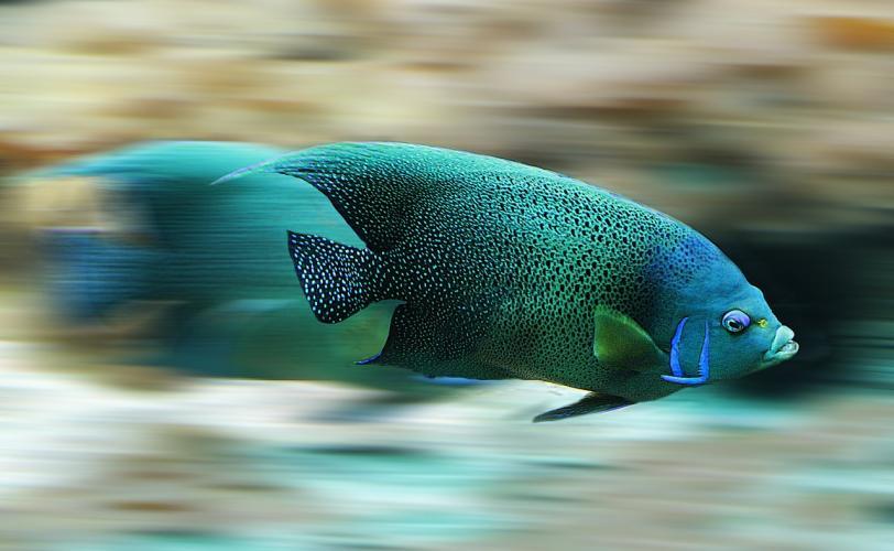 Ονειροκρίτης λέπια (ψάρια)