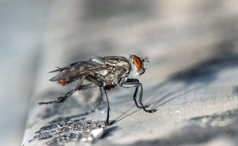 Ονειροκρίτης μύγα - μύγες
