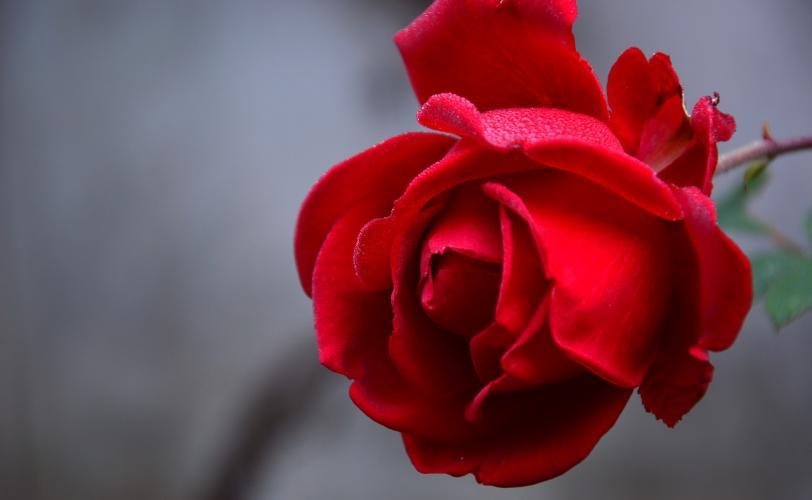 Ονειροκρίτης τριαντάφυλλο